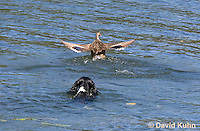0222-1206  Tri-Colored English Springer Spaniel Hunting Dog Swimming in Water  © David Kuhn/Dwight Kuhn Photography