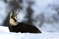 Side view of a chamois buck laying in the snow