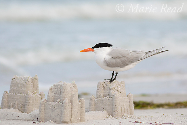 Royal Tern (Sterna maxima), breeding plumage, standing on a sandcastle on a beach, Fort De Soto Park, Florida, USA