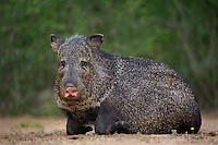 650520301 a wild javelina or collared peccary dicolytes tajacu rests near a waterhole on santa clara ranch in starr county rio grande valley texas united states