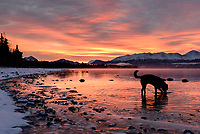 Nanook the husky seeks fetch materials in Skilak Lake, oblivious to the electric sunrise coming up over the Kenai Mountains in south central Alaska.