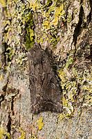 Weiden-Pappel-Rindeneule, Apterogenum ypsillon, Fissipunctia ypsillon, Apterogenum ypsilon, Apterogenum ipsilon, Parastichtis ypsilon, Sidemia fissipuncta, dingy shears, Upsilon, Eulenfalter, Noctuidae, noctuid moths, noctuid moth