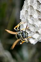 Zierliche Feldwespe, Nest, Nestbau, Wespennest, Feldwespen, Polistes bischoffi, paper wasp, paper wasps, wasps' nest, vespiary