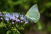 Lyside Sulphur Butterfly on Blue Mist-Flower