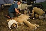African Lion (Panthera leo) biologists, Milan Vinks, Jonah Gula, and veterinarian, Kambwiri Banda, collaring six year old female lion, Kafue National Park, Zambia