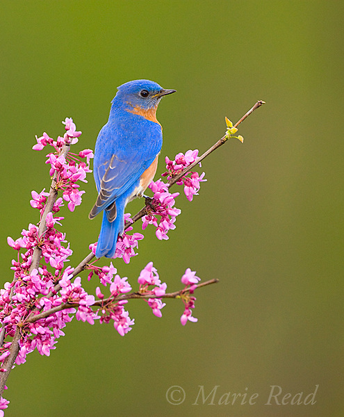 Eastern Bluebird (Sialia sialis) male perched on flowering eastern redbud in spring, New York, USA<br /> (Digitally retouched image - flower added)