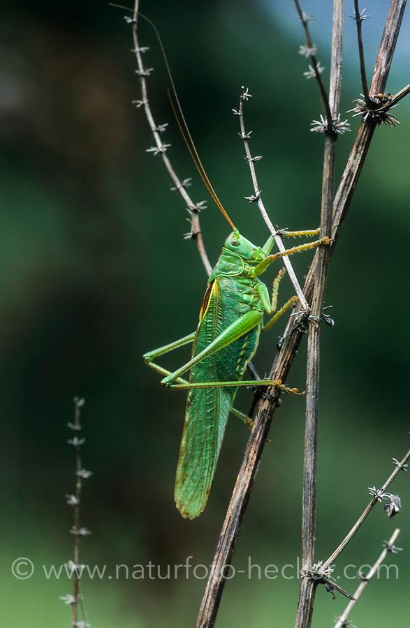 Grünes Heupferd, Männchen, Großes Heupferd, Großes Grünes Heupferd, Grüne Laubheuschrecke, Tettigonia viridissima, Great Green Bush-Cricket, Green Bush-Cricket, male, la grande sauterelle verte, Tettigoniidae