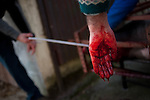 A hand full of blod after the pig was exsanguinated in traditional way pig slaughtering. Legasa (Basque Country). January 7, 2017. The slaughter traditionally takes place in the autumn and early winter and the work often is done in the open. (Gari Garaialde / Bostok Photo)