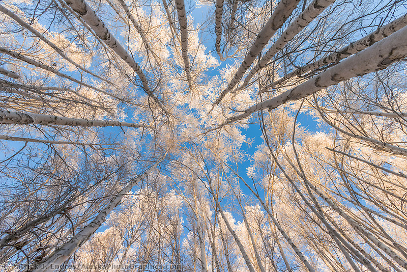 View looking up through Alaska paper birch trees with winter hoar frost, Fairbanks, Alaska.