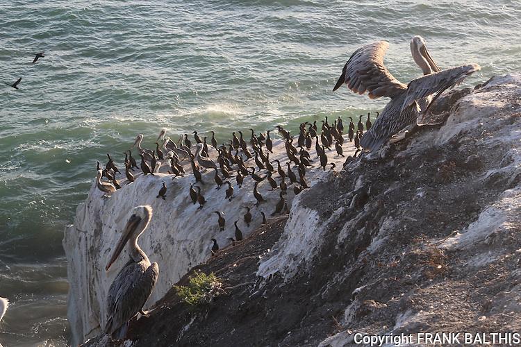 Brown pelicans and cormorants in Pismo Beach