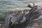Brown pelicans and cormorants in Pismo Beach