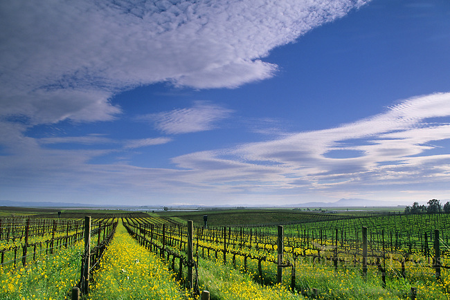 Mustard in vineyard in early spring in the lower Carneros Region, Napa County, California