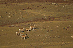 Argali (Ovis ammon) females and lambs, Sarychat-Ertash Strict Nature Reserve, Tien Shan Mountains, eastern Kyrgyzstan