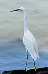 Egret on a rock 1,Balboa Island, CA.