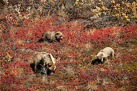 Sow grizzly bear with her spring cubs eating blueberries in the fall foliage of Denali National Park.