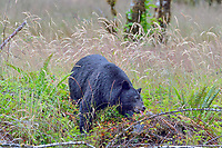 Black Bear feeding on trailing blackberries (sometimes called Pacific dewberry) in Pacific Northwest,  July.