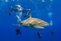 oceanic whitetip shark, Carcharhinus longimanus, with fishing hook, note bird underwater feeding, and scuba divers photographing behind, Cat Island, Bahamas, Caribbean Sea, Atlantic Ocean