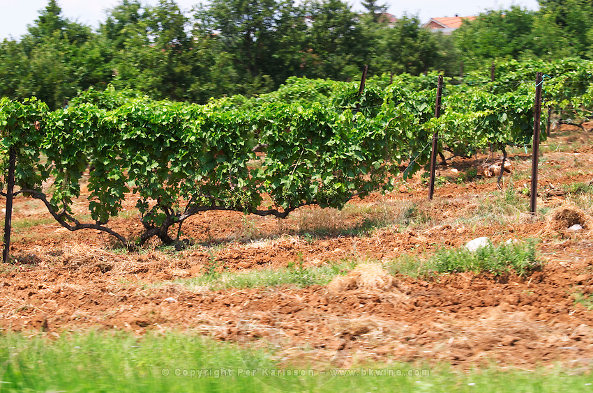Vines in a vineyard. Very long branches on the vine with many grape bunches. Near Citluk. Federation Bosne i Hercegovine. Bosnia Herzegovina, Europe.