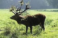 Rothirsch, Rot-Hirsch, Rotwild, Edelwild, Edelhirsch, Hirsch, Männchen, schlägt mit Geweih in die Vegetation, Brunft, Cervus elaphus, red deer
