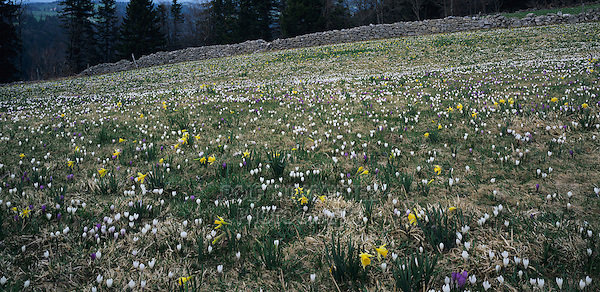 Wildflowers on meadow with Daffodils and Spring Crocus, Vue des Alpes, Jura, Switzerland