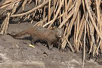Marsh Mongoose in the Saloum Delta, Senegal