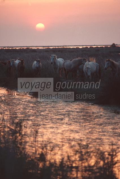 France/13/Bouches du Rhone/Camargue/Parc Naturel Régional de Camargue/Chevaux de race Camargue au soleil couchant
