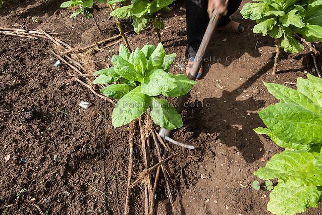 Albania - Luigj Simoni è un produttore di tabacco che lavora poco distante da Scutari, nel Nord dell'Albania. La raccolta delle piante.