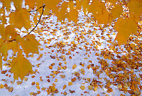 Maple leaves yellow with fall color lie on the ground after a light snow at Presque Isle Park in Marquette, Michigan in autumn.