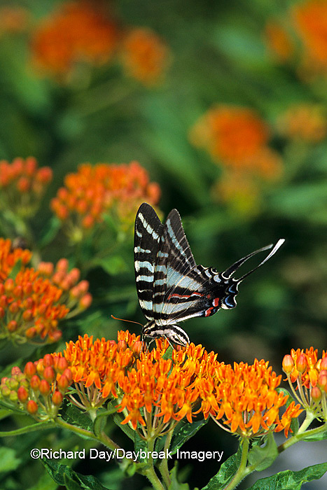 03006-00101 Zebra Swallowtail (Eurytides marcellus) on butterfly weed (Asclepias tuberosa)   IL