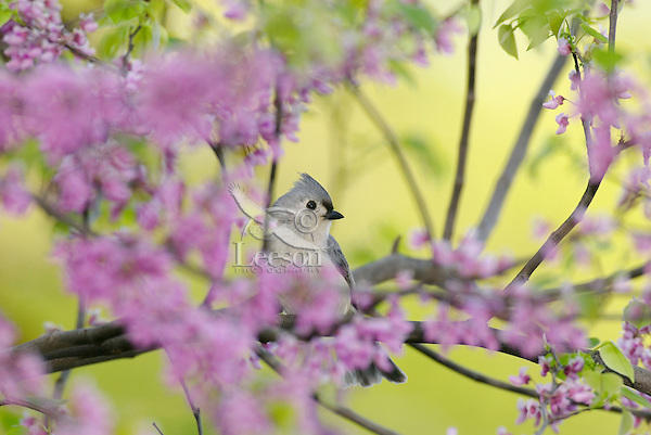 Tufted Titmouse (Parus bicolor) in redbud tree.  Great Lakes region.  Spring.