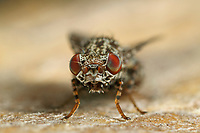 Pfauenfliege, Schmuckfliege, Callopistromyia annulipes, Peacock Fly, Peacock-Fly, Schmuckfliegen, Ulidiidae