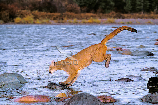 COUGAR/MOUNTAIN LION/PUMA..Crossing river by leaping from rock to rock. Autumn..Rocky Mountains. (Felis concolor).