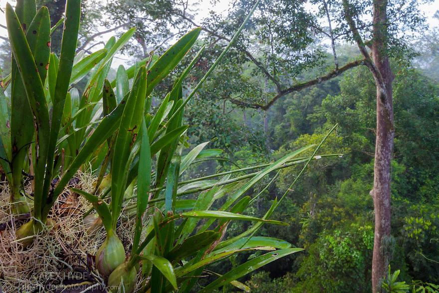 Lowland dipterocarp rainforest canopy. Danum Valley, Sabah, Borneo, Malaysia.