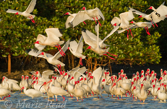 Flock of White Ibis (Eudocimus albus) in breeding plumage, taking flight from the water's edge of the mangrove-covered island that forms their rookery, Tampa Bay, Florida, USA<br /> (birds removed from left)