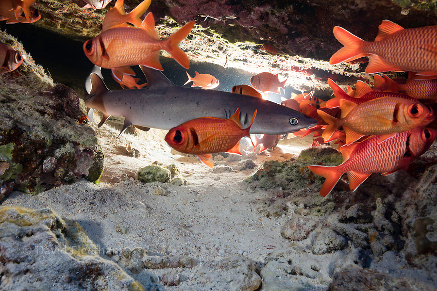 A young whitetip reef shark, Triaenodon obesus, shares a crevice with a school of bigscale soldierfish, Myripristis berndti, Hawaii.