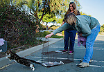Julie Linford of Outcast Cat Help of Martinez and Susan Smith of Rivertown Cats and H.A.R.P. (Homeless Animal Response Program) of Antioch return a previoiusly trapped cat that has now been spayed/neutered and vaccinated to its' outside home area in Antioch, California, on Saturday, March 22, 2014.  Photo/Victoria Sheridan