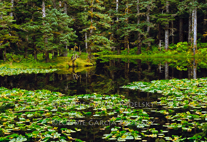 Sitka Spruce trees reflect in lily pond on Shuyak Island, Alaska