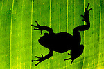The siloette of a restrained red leggade walking frog on a bananna leaf.
