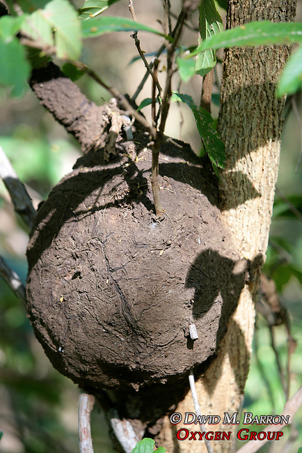 Ant Mud Nest On Tree