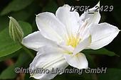 Gisela, FLOWERS, BLUMEN, FLORES, photos+++++,DTGK2429,#f#, EVERYDAY