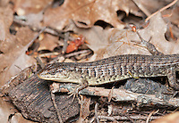 Shasta alligator lizard (Northern alligator lizard), Elgaria coerulea shastensis. Mendocino County, California