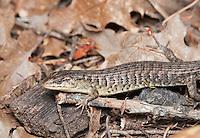 Shasta alligator lizard (Northern alligator lizard), Elgaria coerulea shastensis. Mendocino County, California