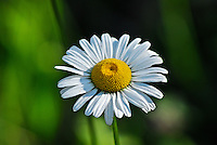 Wild white daisy with a green background.