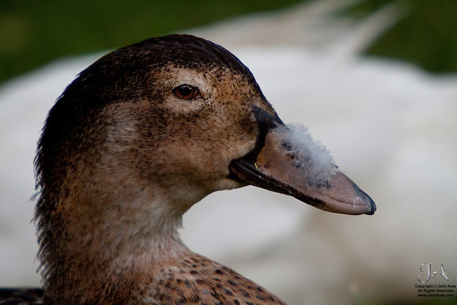 Evidence.  Duck with Feathers on his nose.  Where has he been?  Wait...isn't that a White Duck in the background?