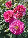 Melody Parfumee Rose, grandflora Rosa hybrid