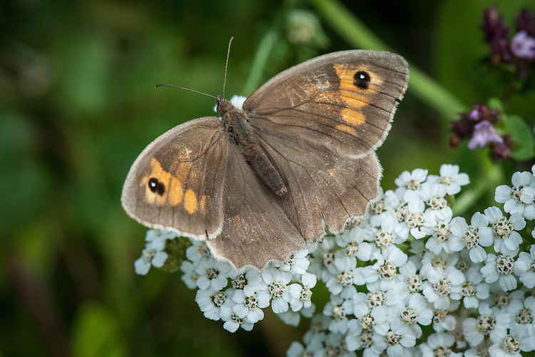 Meadow brown butterfly (Maniola jurtina) on Yarrow (Achillea millefolium), early August.