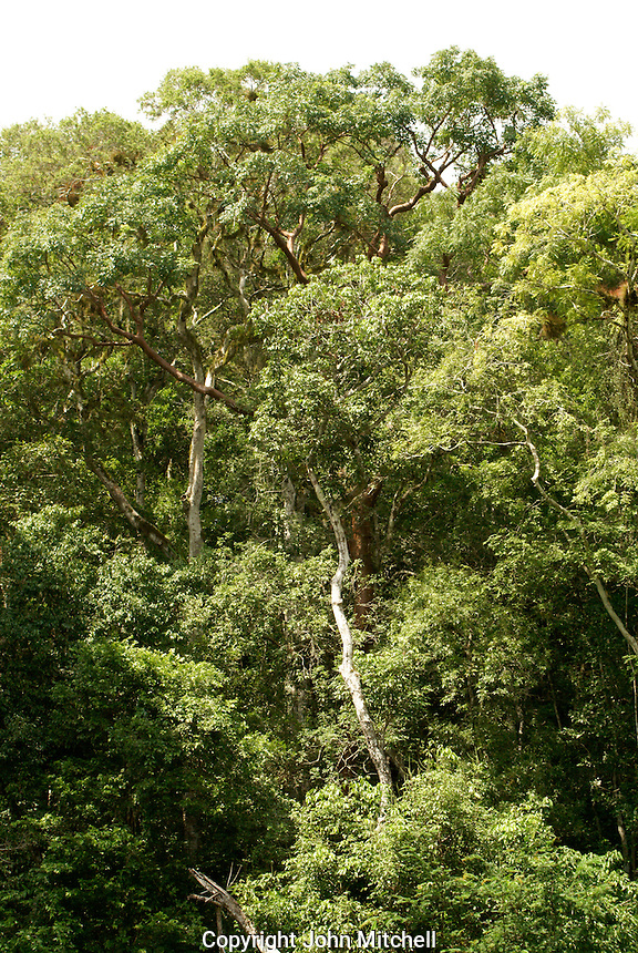 Rain forest at the Maya ruins of Tikal, El Peten, Guatemala. Tikal is a UNESCO World Heritage Site....