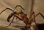 Soldier Guard, Army Ant, Eciton hamatum, Close up showing large powerful mandible jaws, Iquitos, Peru, jungle, Amazon, predatory, powerful bites and stings, causing large tracks in forest, social, macro. .Peru....