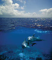 Digital composition A Dolphin World Below - bottlenose dolphins, Tursiops truncatus, Cozumel, Mexico, Caribbean, Atlantic