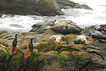 Harbor seals and cormorants at Bean Hollow State Beach near Pescadero